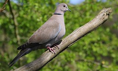 Collared Dove 100417 (Richard Collier - Wildlife and Travel Photography) Tags: wildlife naturalhistory birds britishbirds british collareddove dove naturethroughthelens