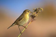 Felosa-Ibérica - Iberian chiffchaff (Phylloscopus ibericus) (Mark Photography 2017) Tags: allies angle animal animalia background beast bird blurred body bokeh bud chiffchaff close closeup composition crafts detail effect exterior feather flower focus format frame framing freeze front genre horizontal iberian ibericus landscape leaf life light lighting motion natural nature orientation outdoor parts passeriformes photo photography phylloscopus plant profile seed setting style sun travel up vegetation view warblers wild wildlife worldartscraftsphotographysettingexterioroutdoorphotogenrestyletypewildlifenaturetravelorientationlandscapemotionfreezeframelightingsunlightnaturalframingcompositioncloseupcloseupdetailformathorizontalfocusbackgroundblurre