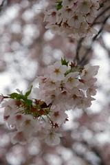 Cherry blossoms in neighborhood 2017/04 No.11. (HIDE@Verdad) Tags: pentaxistds carlzeissjenaddrtessar50mmf28 tessar50mmf28 tessar carlzeissjena