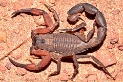 Buthidae, Tityus obscurus (aracnologo) Tags: amazon amazonia amazonforest amazonbiome amazônia arachnida arachnid aracnídeo scorpiones scorpion escorpião escopião alacrán buthidae buthid tityus tityusobscurus pará tapajós