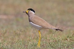 How's my hat ?? (rick_toor) Tags: tamron150600 lovely punjabi pretty model colors yellow asia punjab chandigarh india hat blackhat beautiful beauty naturephotography wildlifephotography wildlife outdoor nature birder birds lapwing yellowwattledlapwing canoneos6d canon flickr