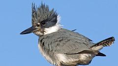 Belted Kingfisher (photosauraus rex) Tags: bird outdoor kingfisher beltedkingfisher vancouver bc canada nonzoo nonbaited shotinthewild nonbirdshow megacerylealcyon