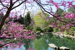 Serenity (Patricia Henschen) Tags: denvercolorado denver colorado dbg denverbotanicgardens garden spring flowers japanesegarden tree redbud urban botanic