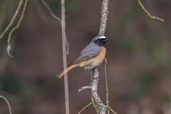 Common Redstart 14-04-2017-7830 (seandarcy2) Tags: heathland redstart chat thursley surrey uk