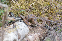 Mating adders (gillian.pullinger) Tags: adder adders vipera berus pair mating reptile reptiles animal animals wildlife nature