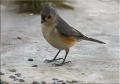 """""""The Look"""", Tufted Titmouse (Aquamarine Images) Tags: tuffted tuftedtitmouse birds smallbirds titmouse wildbirds aquamarineimages"""