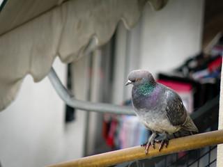 City Pigeon