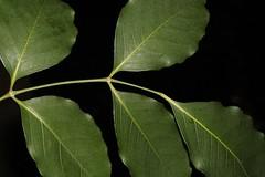 Polyscias elegans (andreas lambrianides) Tags: araliaceae nothopanaxelegans tieghemopanaxelegans gelibiaelegans silverbasswood blackpencilcedar blackpencil polysciaselegans cedar celerywood mowbulanwhitewood australianflora australiannativeplant australiannativetrees australianrainforests australianrainforestplant australianrainforesttrees arffs qrfp nswrfp cyrfp tropicalarf subtropicalarf dryarf littoralarf