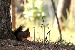 IMG_2056 (marianabmcruz) Tags: parquebiológicodegaia parquebiológico biologicalpark outdoors outdoor nature natureza animal animals fauna esquilo squirrel squirrels