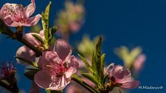 Light and peach blossoms (Milen Mladenov) Tags: 2017 d3200 nikon blossom bluesky branch flowers leaf leafs light macro nature peach peachtree peachtreeblossom petals pink spring stamens