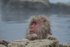 Nagano - Jigokudani - 08 (coopertje) Tags: japan nagano snowmonkey monkey jigokudanimonkeypark jigokudanijaenkoen sneeuw snow sneeuwmakaak macaque japanesemacaque cold onsen hottub hotspring water