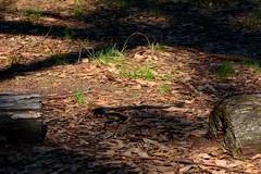 Red bellied black snake - Croajingolong National Park (Cupaak) Tags: croajingolongnationalpark redbelliedblacksnake snake nature dangerous gippsland victoria australia