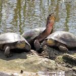 Western Pond Turtles thumbnail