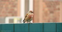 Besuch - visit (Jorbasa) Tags: jorbasa hessen wetterau germany deutschland vogel bird tier animal chaffinch robin buchfink rotkehlchen bluthänfling linnet