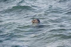 Harbor Seal Enjoying a Swim. (LisaDiazPhotos) Tags: la jolla san diego harbor seal enjoying swim lisadiazphotos