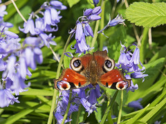 Peacock Butterfly (sivaD nhoJ) Tags: butterfly lepidoptera insect invertebrate arthropod animal wildlife nature 2017 peacockbutterfly nymphalisio nymphalidae