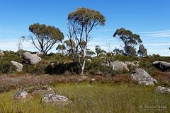 20170228-02-Pond full of reeds (Roger T Wong) Tags: australia centralplateauconservationarea greatpinetier sel1635z sony1635 sonya7ii sonyalpha7ii sonyfe1635mmf4zaosscarlzeissvariotessart sonyilce7m2 tasmania wha worldheritagearea bushwalk camp centralhighlands hike scoparia treesmarsh trektramp walk