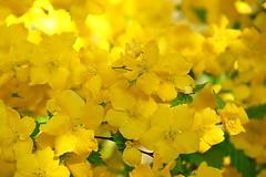 Sunshine petals for Sunday (zinnia2012) Tags: flowers yellow sunshine happy joyful today zinnia2012 fleur jaune joie bonheur