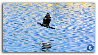 A black Cormorant bird flying over rippled blue water of Man Sagar lake, India