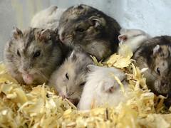 Friends by Quiko Mega Pet (Friends by Quiko Mega Pet) Tags: quikomegapet friendsbyquikomegapet petshop thessaloniki greece hamster hamsters pets