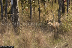 40243 Northern Red Muntjacs (M. vaginalis) pair at the edge of a seasonal waterhole (trapeang) in dry deciduous forest, Srepok Wildlife Sanctuary, Eastern Plains Landscape, Mondulkiri, Cambodia. IUCN=Least Concern. (K Fletcher & D Baylis) Tags: animal fauna wildlife mammal deer barkingdeer northernredmuntjac cervidae muntiacusvaginalis leastconcern drydeciduousforest seasonalwaterhole trapeang srepokwildlifesanctuary easternplainslandscape mondulkiri cambodia indochina asia february2017