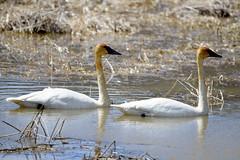 Trumpeter Pair (Buzz Hoffman) Tags: waterfowl bird minnesota whitewaterwildlifemanagementarea whitewaterriver dormanpool