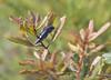 Dark Blue Banksia Jewel Beetle (boombana) Tags: darkbluebanksiajewelbeetle jewelbeetle banksiajewelbeetle beetle insect cyrioidesaustralis cyrioides cyriaaustralis banksiaintegrifolia banksia