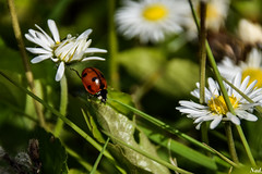 coccinelle 3 (nadineblanchard) Tags: coccinelle nature insecte