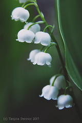 Lily of the Valley (Tanjica Perovic) Tags: wildflowers beautyinnature woodland greenery happyspring springtime growth vitality tender fragility ethereal serenity dark shadow floral forest poisonous