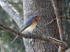 Leaden Flycatcher? (iansand) Tags: homebushbay bird leadenflycatcher utata:project=tw572