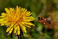 In Flight (Cederquist Christoffer) Tags: dandelion wasp pollen closeup macro nature mini inflight gothenburg sweden cederquist bokeh flyinginsect tamron60mmmacro canoneos60d
