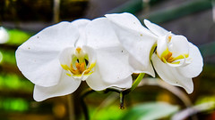 DSCF4349.jpg (ser_is_snarkish) Tags: cuba orchids