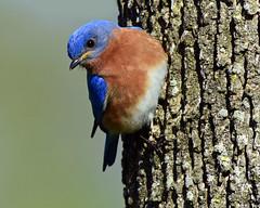 DSC_3214=3Bluebird (laurie.mccarty) Tags: bird birding bluebird bokeh birdwatching avian animal outdoor wildlife nature nikond810 nikon