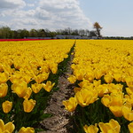 TulipsHolland002 thumbnail