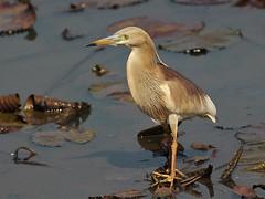 Indian Pond Heron (SivamDesign) Tags: canon eos 550d rebel t2i kiss x4 300mm tele canonef300mmf4lisusm kenko pro300 caf 14x teleplus dgx bird fauna indian pond heron indianpondheron ardeolagrayii breeding