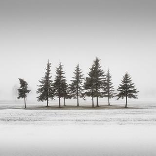 Nine Brave Conifers