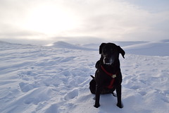 Nelly The Dog (WilBDow) Tags: black lab winter palouse dog frozen jowls