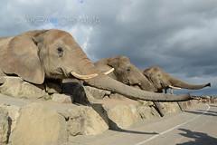 DSC_4593131111 (Akira Uchiyama) Tags: ほ乳類 アフリカ アフリカゾウ ゾウ 動物たちのいろいろ 生息地 鼻 鼻アフリカゾウ