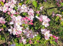Fragile (Rob Hall -) Tags: blossom flowers spring sun fragile short tree nature color colour bright vivid petals buds