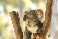 Koalas XXXII (Josué Godoy) Tags: koala koalas australia animal exotic cute mignon exótico