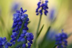 blue (polletjes) Tags: blue blauw druifje bloem bloemen flower flowers flora fleur fleurs blume macro bokeh yellow geel jaune gelb natuur nature spring lente voorjaar printemps frühling