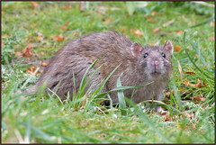 Brown Rat (image 2 of 2) (Full Moon Images) Tags: wicken fen nt national trust wildlife nature reserve cambridgeshire animal mammal brown rat rodent