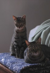 Left to right: Cousin and Cricket (rootcrop54) Tags: cousin cricket multiple cats male related cousins foster rescue tabby tabbies striped tiger stripe macska kedi 猫 kočka kissa γάτα köttur kucing gatto 고양이 kaķis katė katt katzen kot кошка mačka maček kitteh chat ネコ