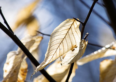 Leaf I (Alexander Day) Tags: leaf leaves bokeh light blue sky dead veins sticks twigs alex day alexander new jersey duke farms