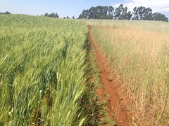 ISFM with lime on the left  compared to farmers practice on the right. (isfm ethiopia) Tags: lime amhara isfm field trial demonstration agronomy improved