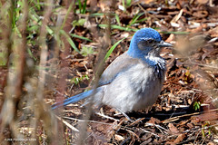 Scrub jay (JSB PHOTOGRAPHS) Tags: jsb995400004 scrubjay owenmemorialrosegarden owenrosegarden nikon d600 28300mm animal bird