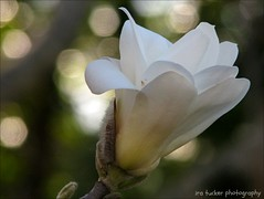 What some call health, if purchased by perpetual anxiety about diet.... (itucker, thanks for 2.9+ million views!) Tags: magnolia hybridmagnolia mcdanielhybridmagnolia macro bokeh hbw pristine raulstonarboretum