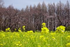 Nanohana (rawiinyo) Tags: nanohana 菜の花 mizumotopark 水元公園 yellow 黄色 flower 花