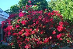 Key West (Florida) Trip 2016 0187Rif 4x6 (edgarandron - Busy!) Tags: florida keys floridakeys keywest plants flower flowers bougainvillea