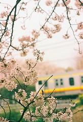 去年の桜 (Yukijiro.) Tags: α8700i 一眼レフ 南武線 桜 135film jr lomographyfilmiso800 minolta